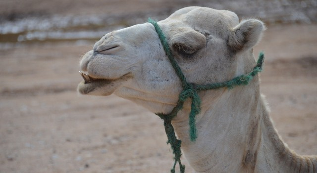 Mers virus widely found in camels could be lurking in other species say researchers. Photo: Aastha Gill